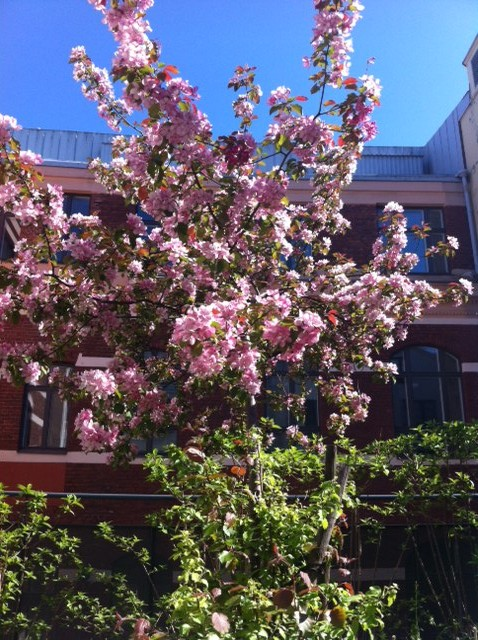 Kirskikka puu HiMO Clubin terassilla